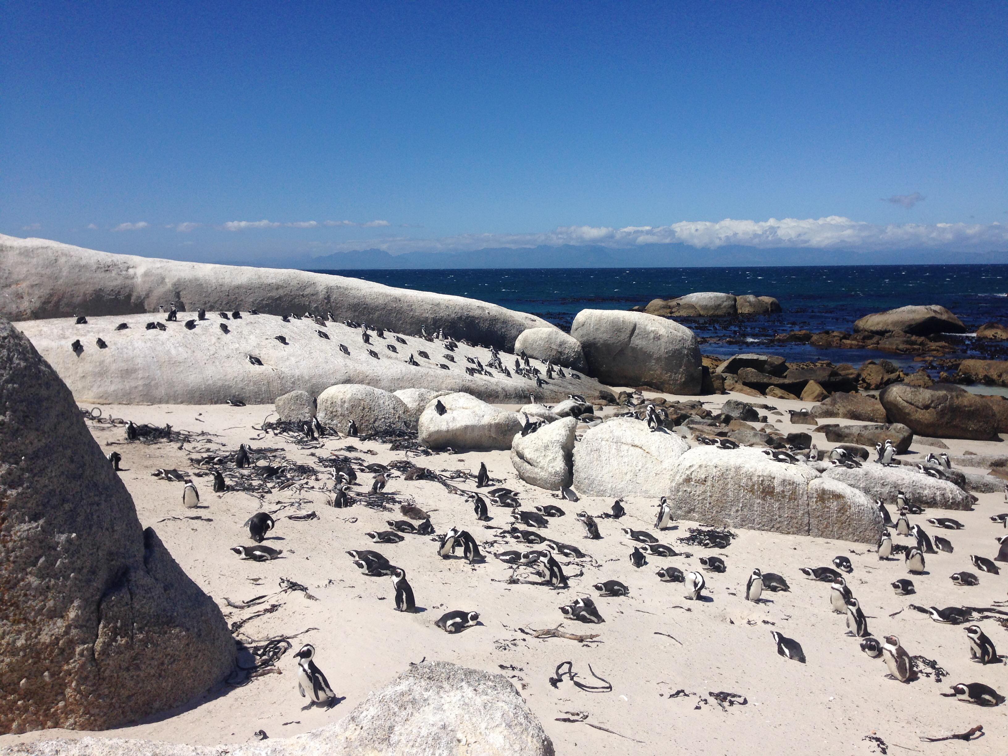 Pinguine von Boulders Beach